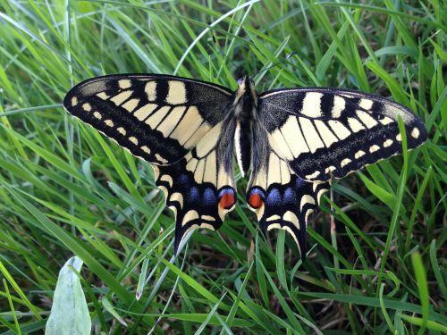 butterfly dovetail butterflies