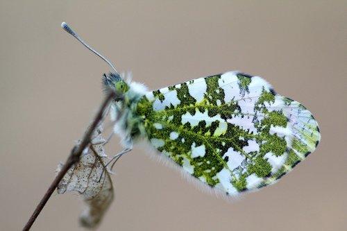 butterfly  aurora  spring