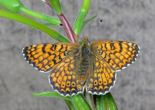 butterfly  fritillary  insect