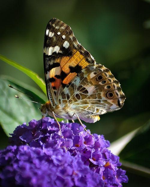 drugelis,vabzdys,laukinė gamta,gyvūnas,sparnas,spalvinga,šviesus,natūralus,gyvas,rožinis,gėlė,oranžinė,gyvas,augalas,lauke