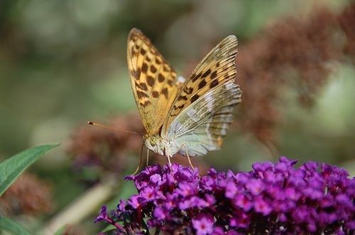 butterfly  buddleja davidii  purple