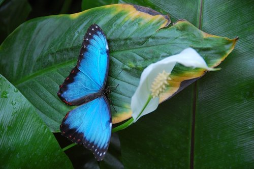 butterfly  blue  insect