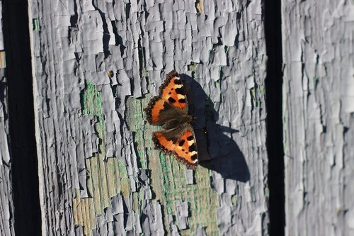 butterfly  board  insect
