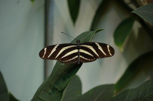 butterfly  longwing  black