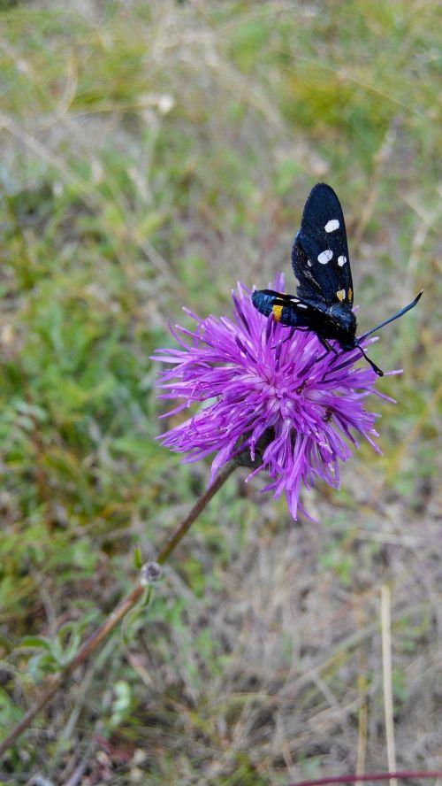 drugelis,gėlė,violetinė,pieva,vasara,vabzdys,pastebėtas,skraidantis vabzdys