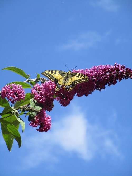 butterfly  lilac  summer