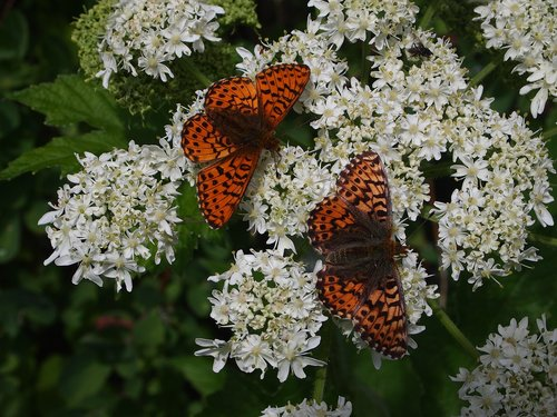 butterfly  butterflies  fritillary