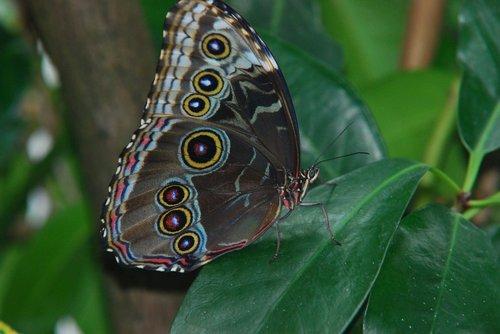 butterfly  sky butterfly  blue morphofalter