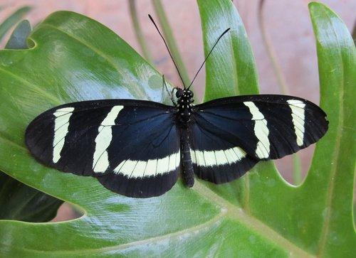 butterfly  hewitsoni longwing  macro