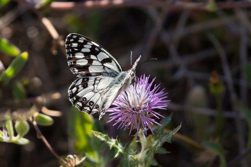 butterfly  chessboard  white