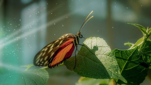 butterfly  tropical  edelfalter