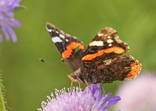 butterfly  red admiral  scabious