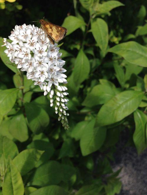 butterfly gooseneck loosestrife gardens