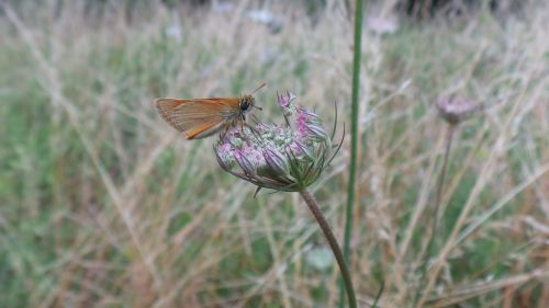 butterfly insect wild carrot