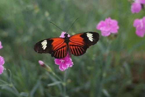 butterfly  heliconius melpomene  central america