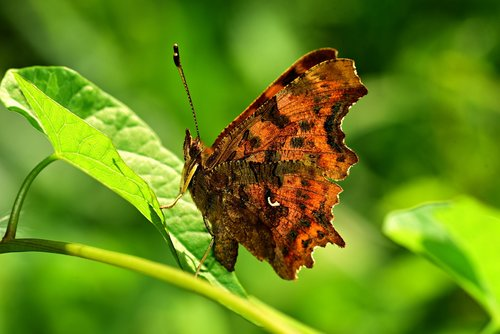 butterfly  insect  animal