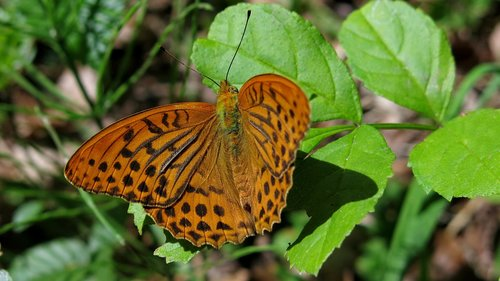 butterfly  fritillary  silver line