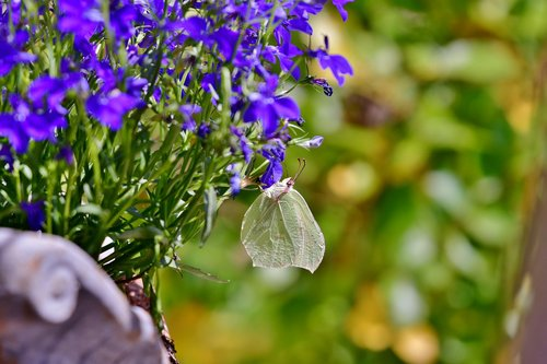 butterfly  cabbage white  bug