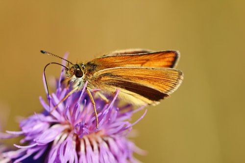 butterfly  skipper  nature