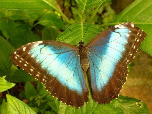 drugelis,vabzdys,drugelis namas,mėlynas morfofleris,Morpho peleides,dangus drugelis,edelfalter,nymphalidae,didelis drugelis,skristi,sparnas,gamta,ruda,akys,eyepots,atogrąžų namas,egzotiškas,atogrąžų