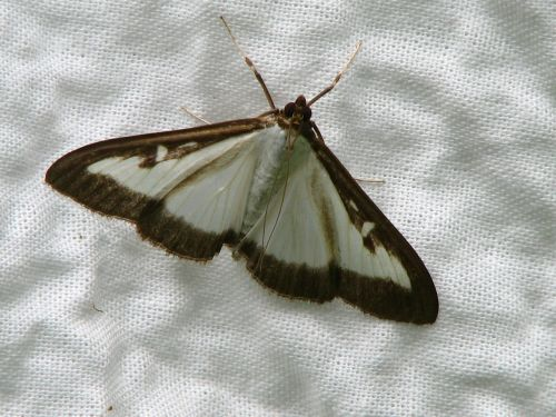 butterfly boxwood borer white