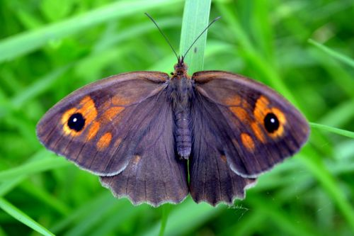 butterfly insecta grass