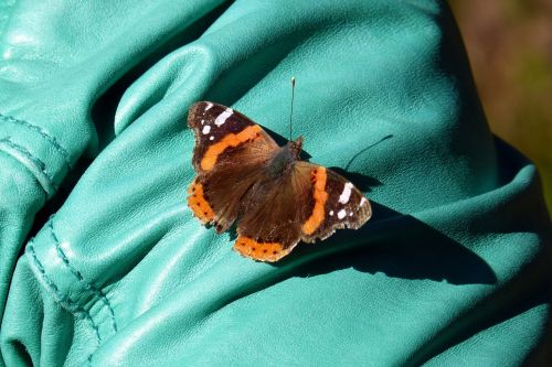 butterfly admiral vanessa atalanta