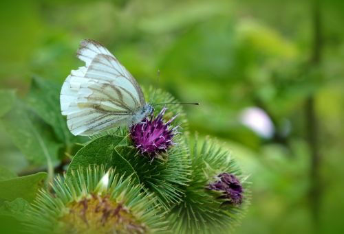 butterfly white ling thistle