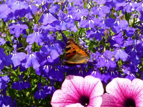butterfly little fox lobelia