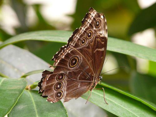 butterfly blue morphofalter morpho peleides