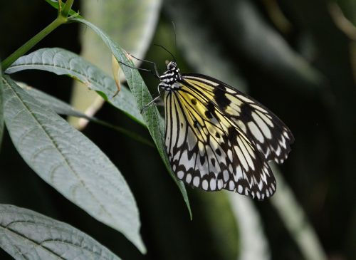 butterfly yellow white