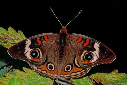 butterfly buckeye macro