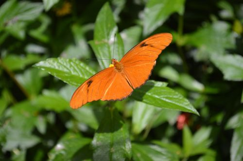 butterfly orange insect
