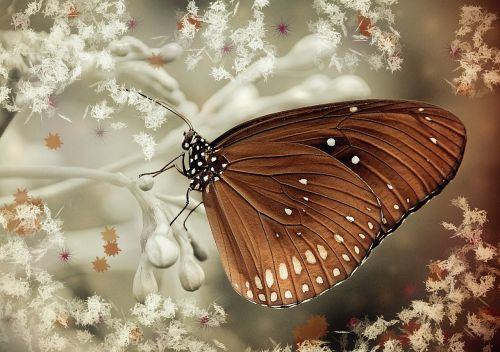 butterfly brown oleander