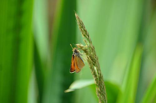 butterfly meadow grass