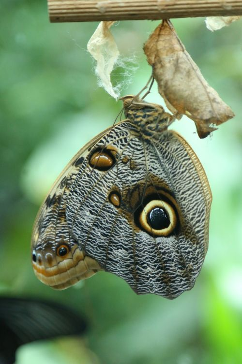 butterfly larva insect