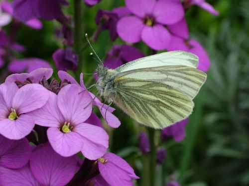 butterfly spring green-veined white