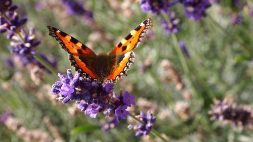 butterfly lavender flowers
