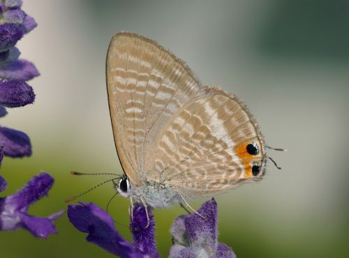 butterfly peablue long-tailed blue