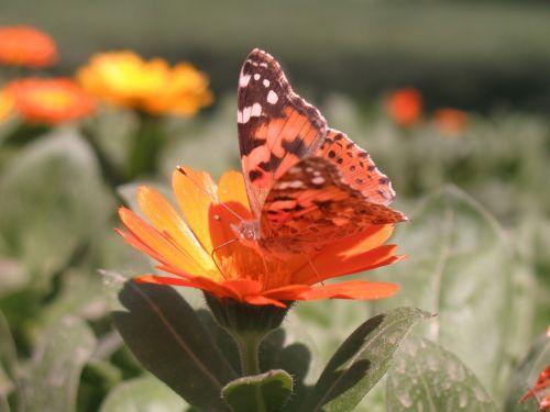 drugelis, gėlė, gamta, saulėtas