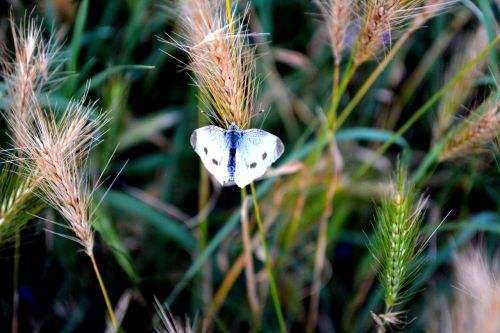 butterfly white grass
