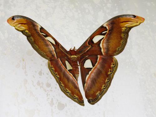 butterfly attacus atlas night