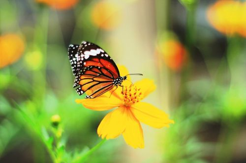 butterfly insects beautiful