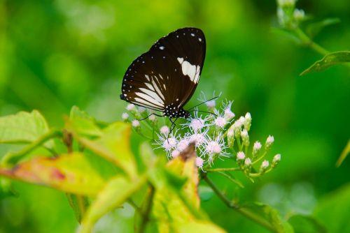 butterfly burma nature