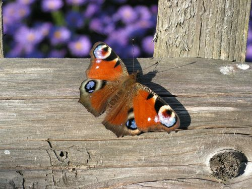 butterfly european peacock aglais io
