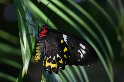 butterfly cairns birdwing ornithoptera euphorion