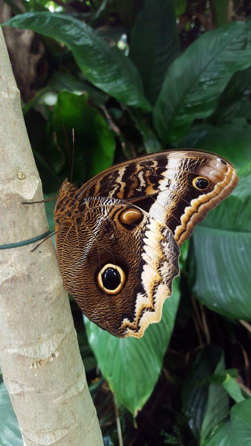 drugelis,tropikai,akis