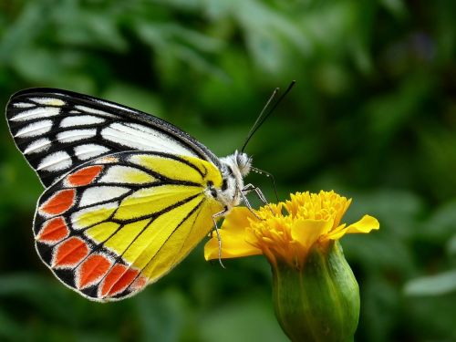butterfly common jezebel plant