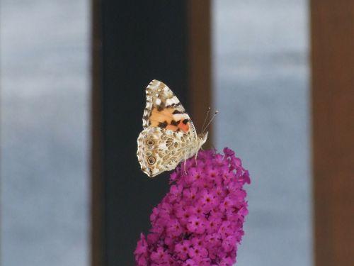 butterfly flower pink