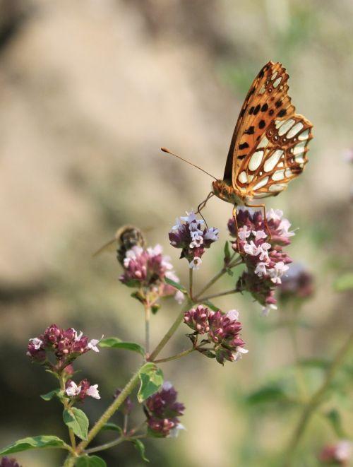butterfly fritillary gorj